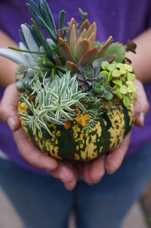 How To Build A Succulent Pumpkin Arrangement Westwood