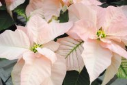 Visions of Grandeur Poinsettias