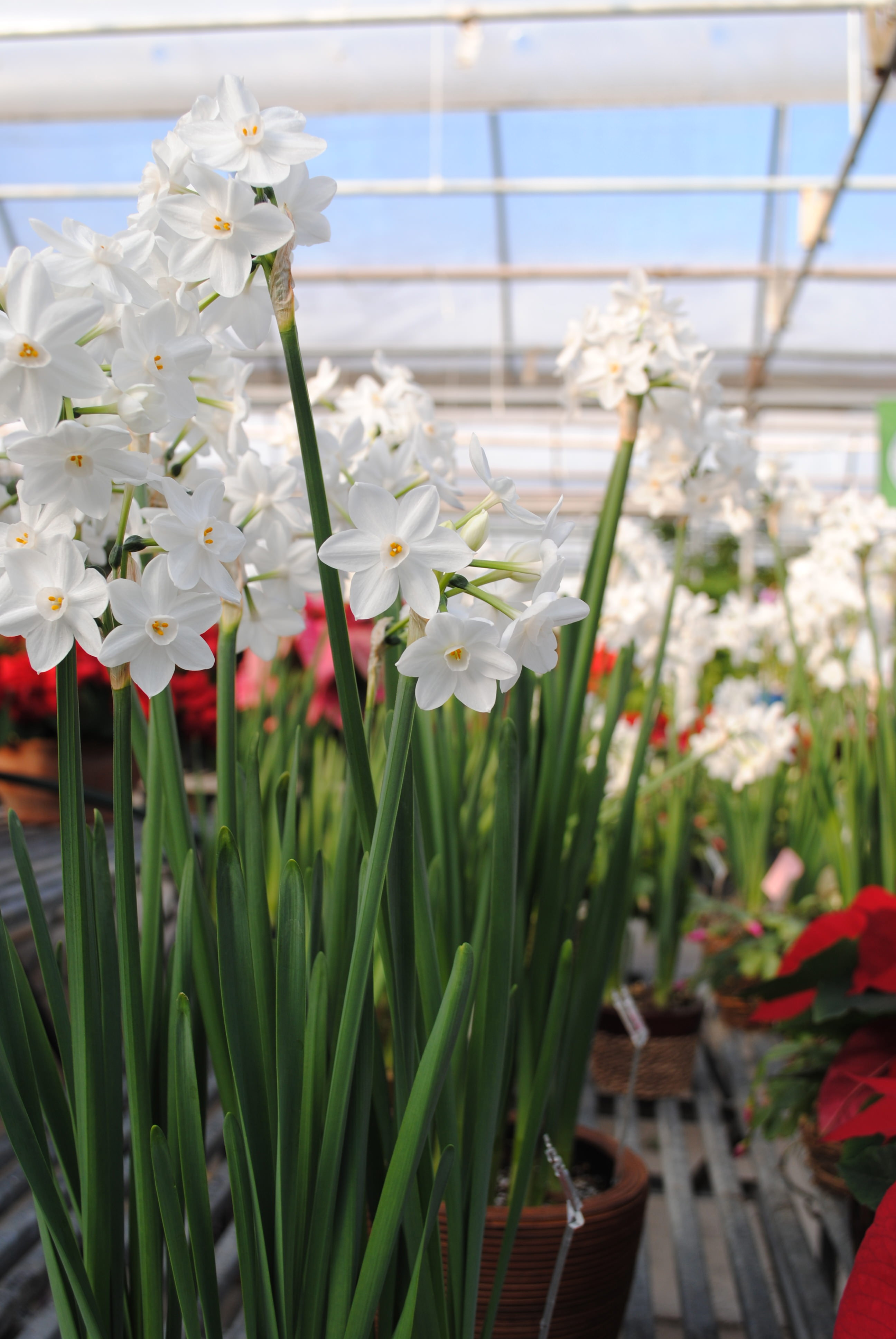 How To Force Paperwhite Amaryllis Bulbs Indoors Westwood Gardens