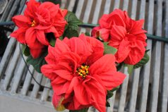 Winter Rose Poinsettia