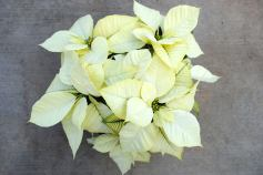 Polar Bear White Poinsettia