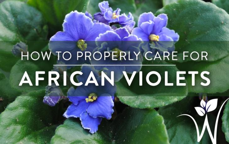 african-violet-care
