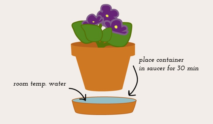 African-Violet-Infographic-1