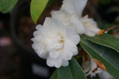 Camellia Snow Flurry