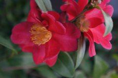 Camellia Midnight Lover