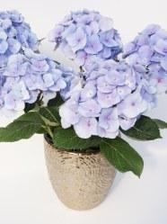 blue indoor hydrangea