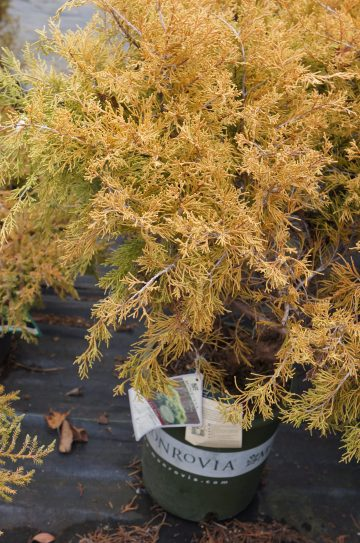 Juniper 'Gold Coast'
