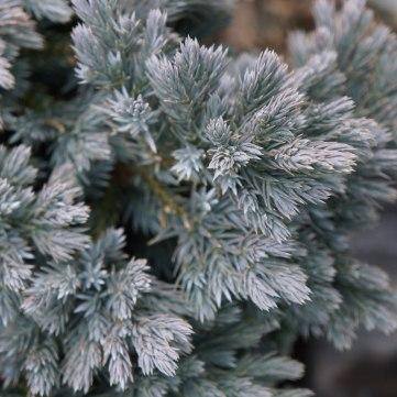 Juniper 'Blue Star'