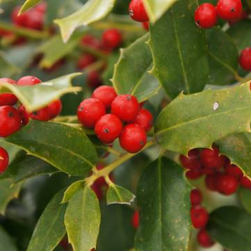 Holly 'Christmas Jewel'