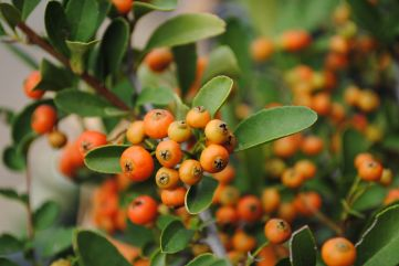 Pyracantha 'Red Elf'
