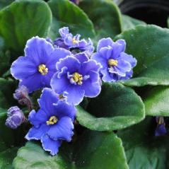 Blue African Violets