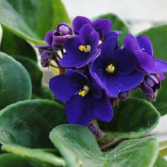 Dark Purple African Violet