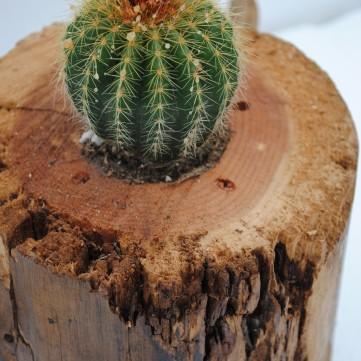 cactus in wood