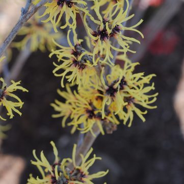 Witch Hazel 'Primavera'