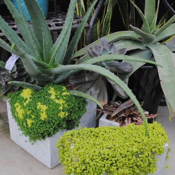 concrete containers with succulents