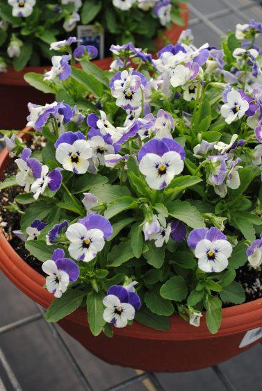 Violas Bowl