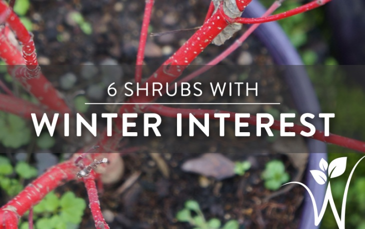 winter-shrubs