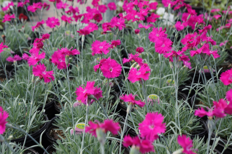Cool Season Perennials Westwood Gardens Blog