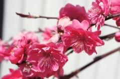Corinthian Pink Flowering Peach