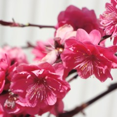 Corinthian Pink Flowering Peach