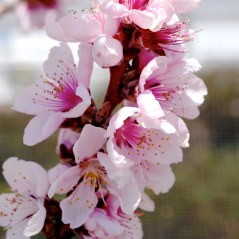 Bonefire Dwarf Flowering Peach
