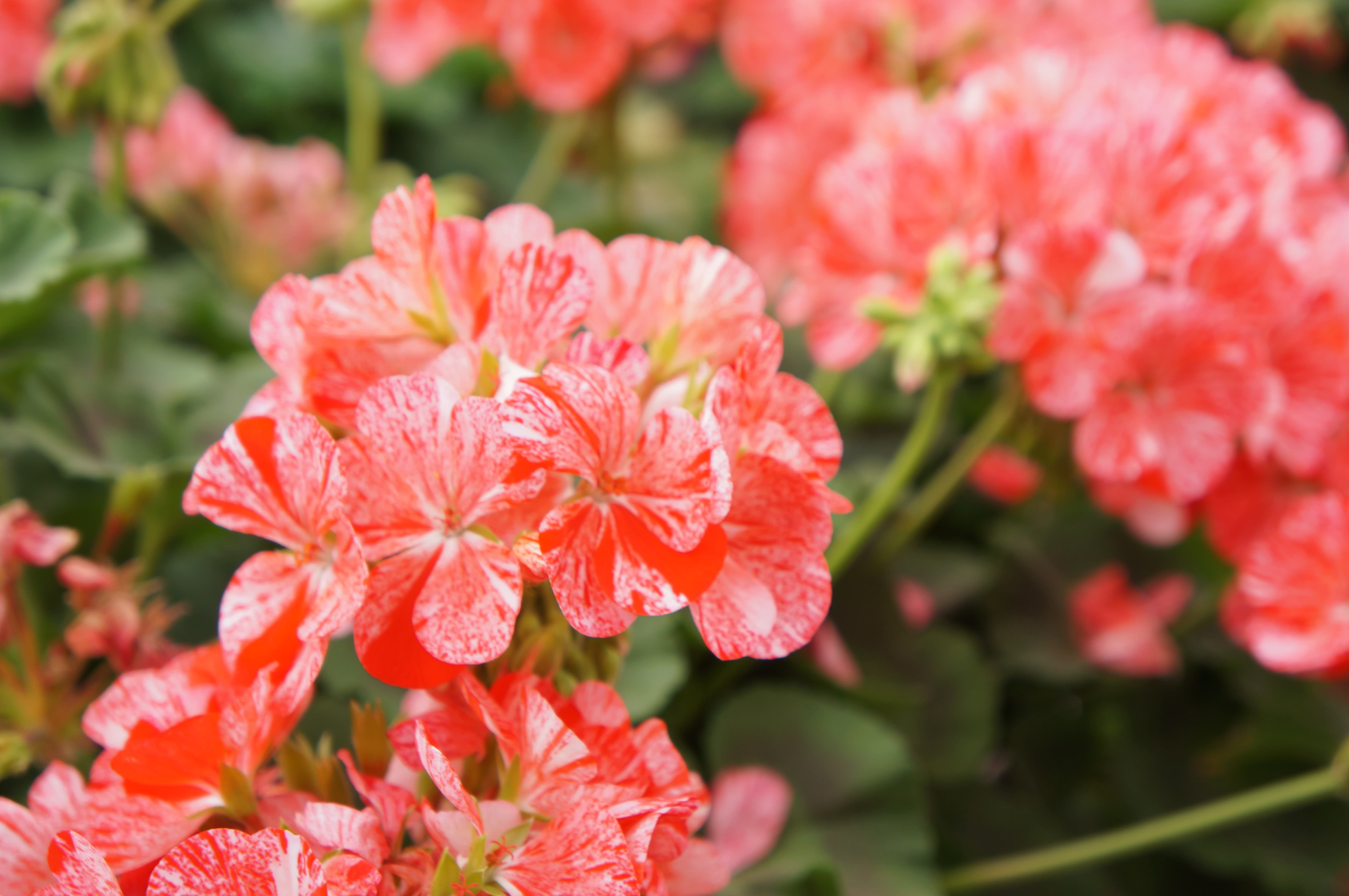Our top annuals for sun westwood gardens blog geraniums izmirmasajfo Choice Image