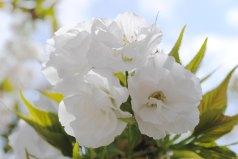 White Mnt Fuji Cherry Tree