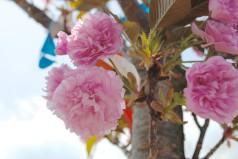 Pink Mnt Fuji Cherry Tree
