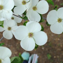 Venus Dogwood tree