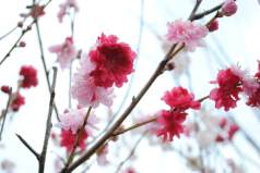 Flowering Peach Variegated 'Peppermint'