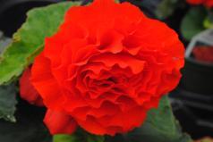 Red Tuberous Begonia