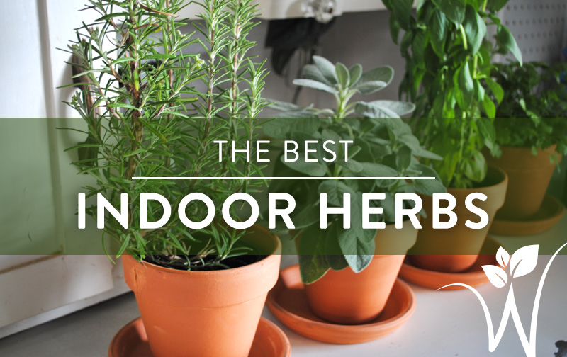 Herbs are an easy and fun place to start your indoor gardening skills  Here  are our top picks for the best. The Best  Indoor  Herbs   westwood gardens blog