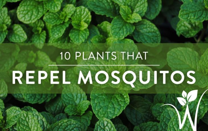mosquito-plants