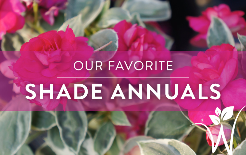 the best annuals for shade  westwood gardens blog, Natural flower