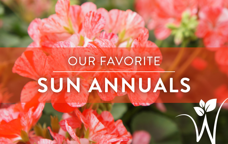 our top annuals for sun  westwood gardens blog, Natural flower