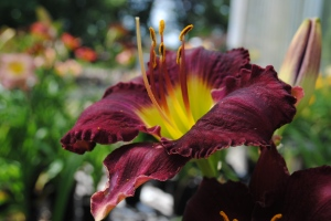 Super Magician Daylily