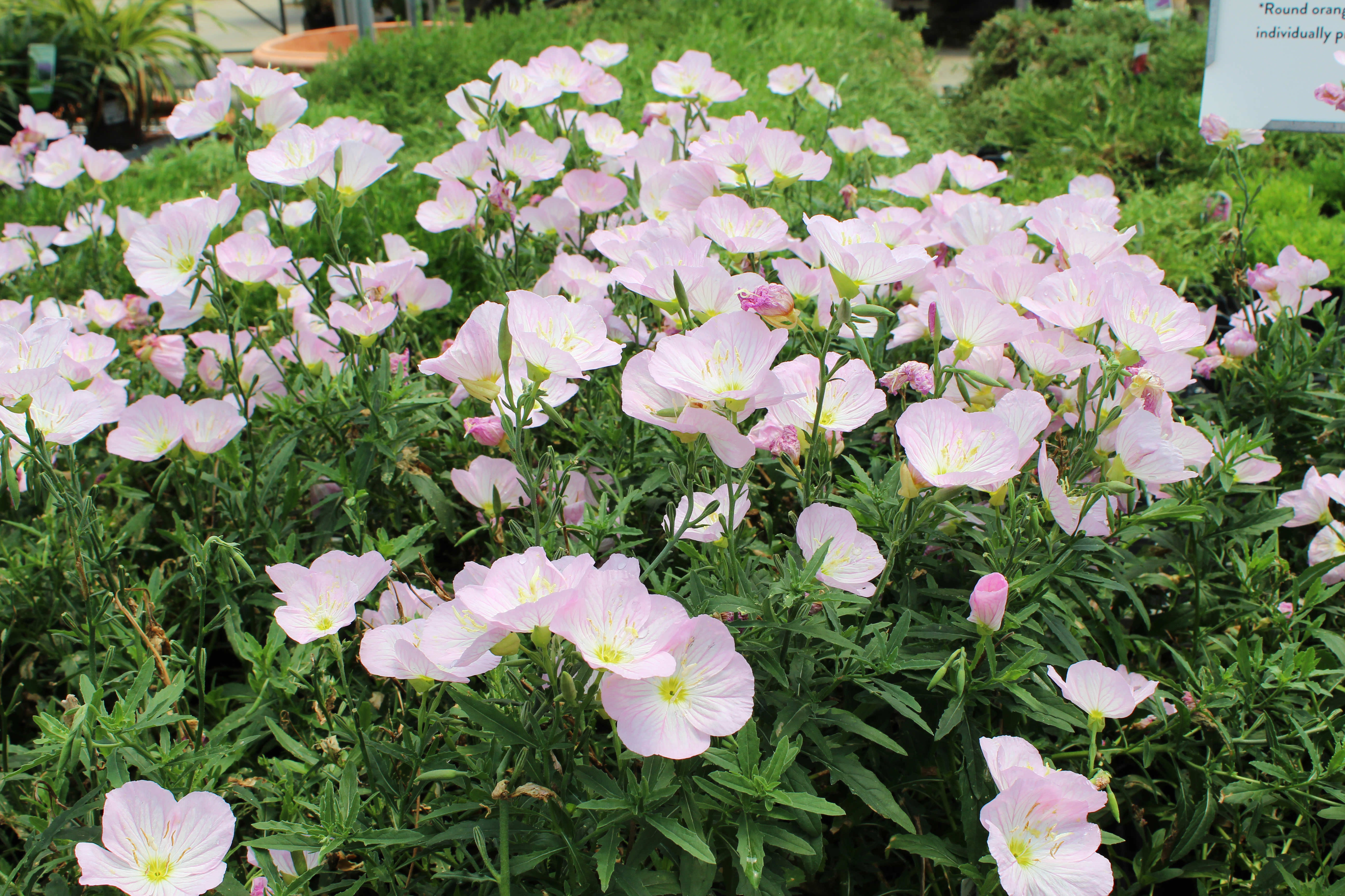 The Toughest Perennials Westwood Gardens Blog