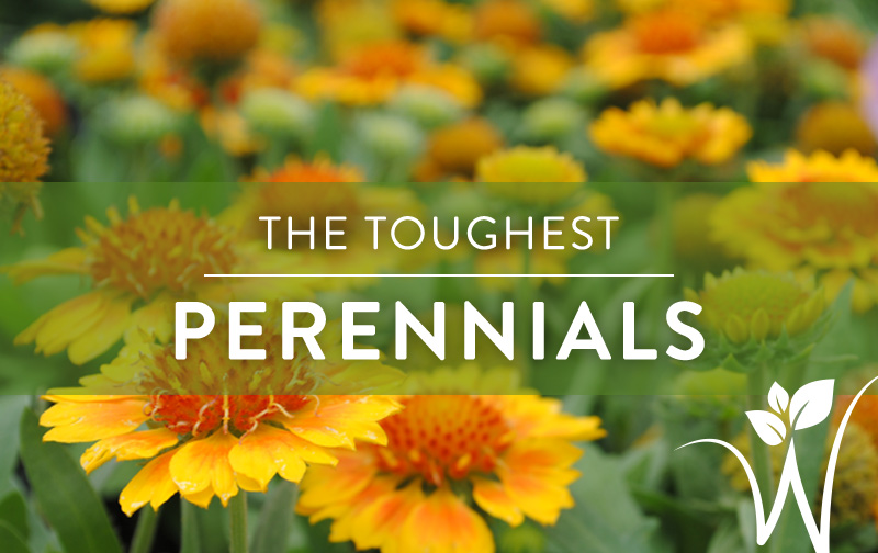 The toughest perennials westwood gardens blog - Heat tolerant plants keeping gardens alive ...