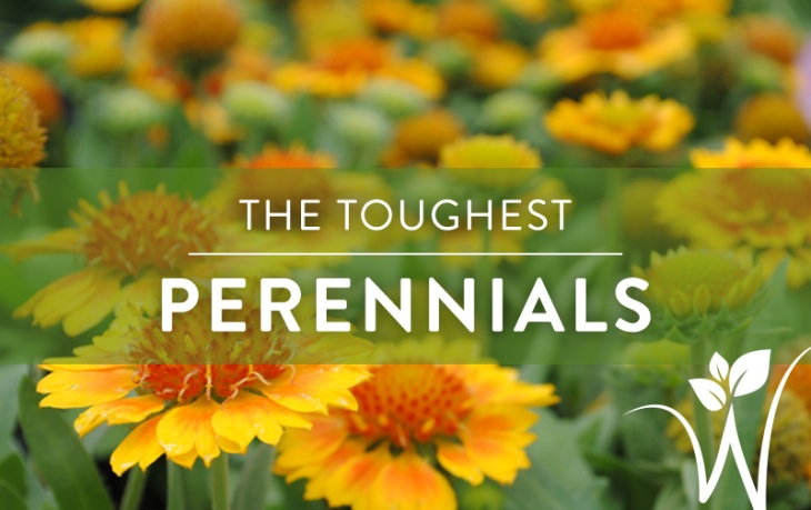 Tough-Perennials