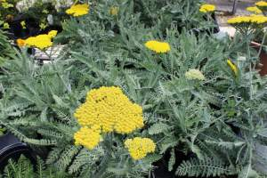 Yarrow Moonbeam