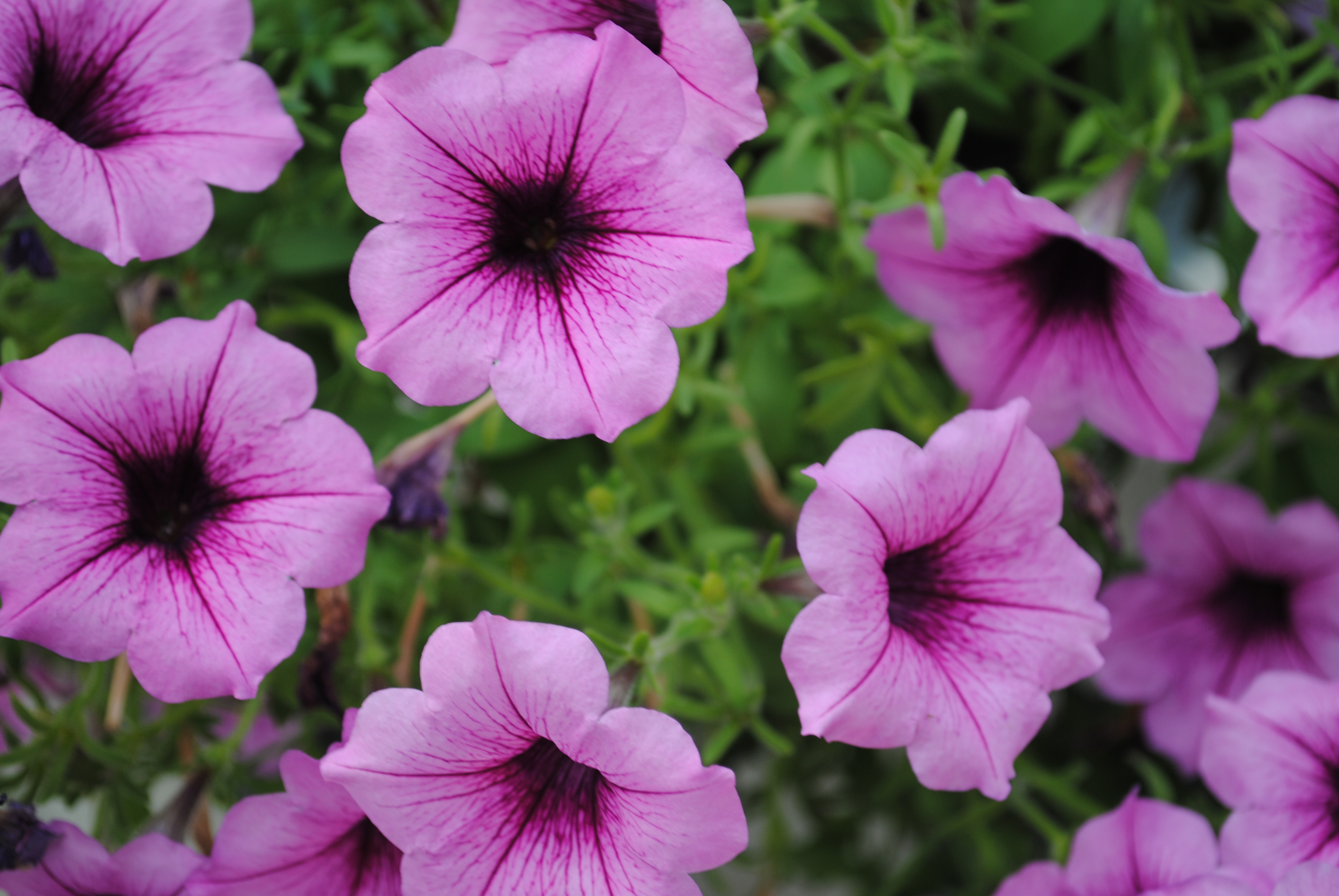 Our top annuals for sun westwood gardens blog petunias izmirmasajfo Choice Image