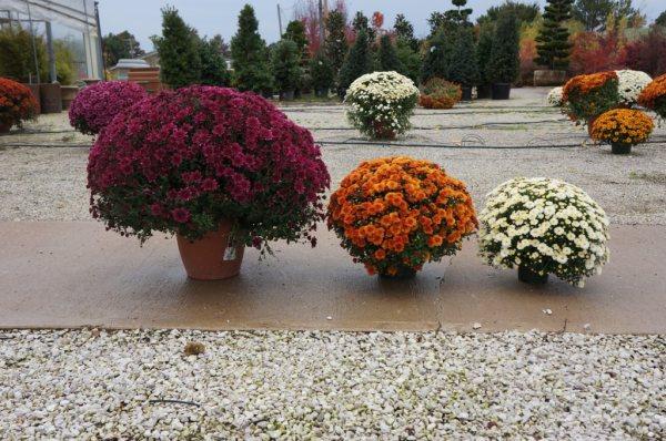 Mums (Chrysanthemums)