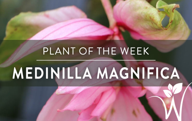 Medinilla Magnifica-FI