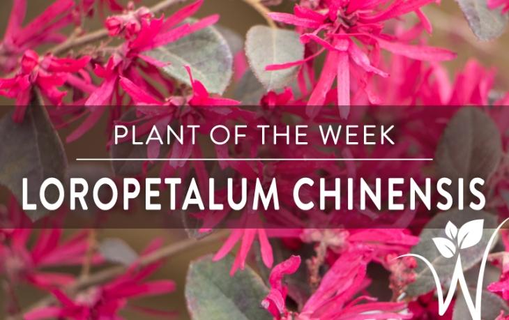 POTW- Loropetalum Chinensis.jpg