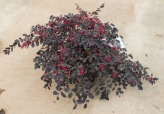 Loropetalum chinensis var. rubrum