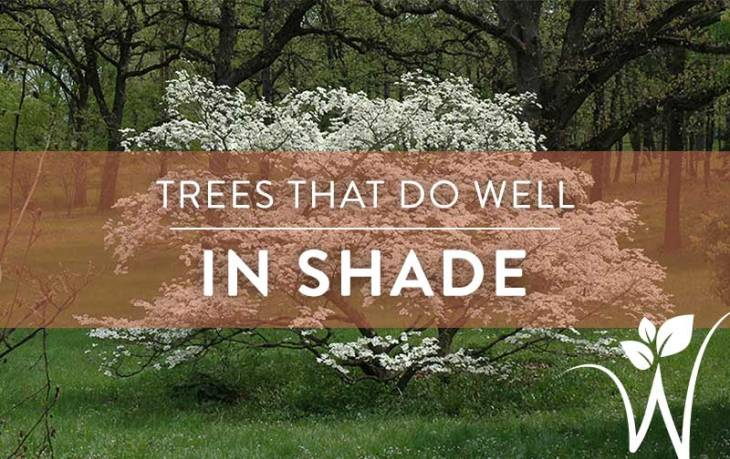 Shade_trees_for_blog