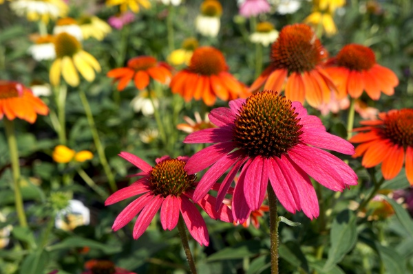 Plant perennials (like this echinacea) in the fall, and they will pop up healthy in the spring.