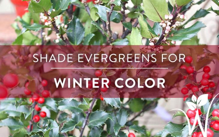 shade_evergreens_for_winter_color