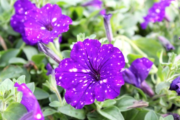Night Sky Petunia, gardening, summer, annual