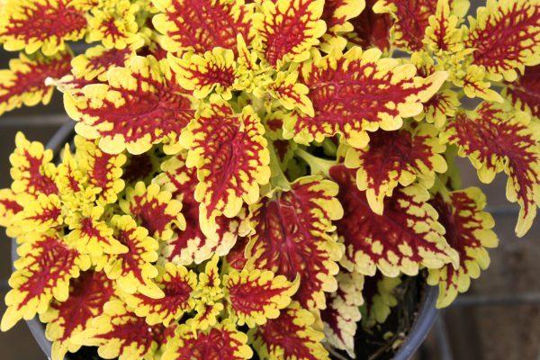 coleus, annual plants, gardening